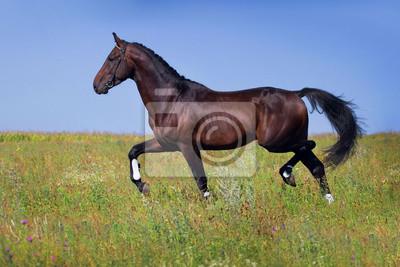 Dark horse trot on spring green field
