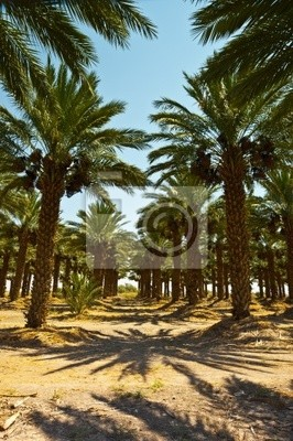 Wall mural Date Palms