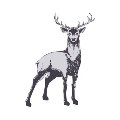 Wall mural Deer isolated on white