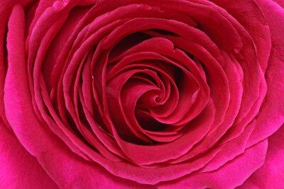 Wall mural Détail d'une rose