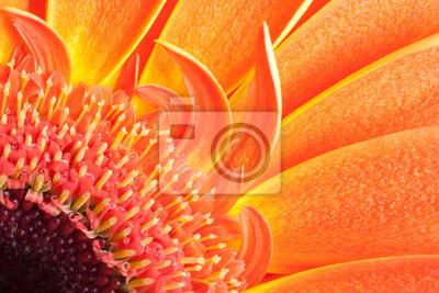 detail of orange gerbera petals