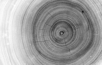 Wall mural Detailed macro view of felled tree trunk or stump. Black and white organic texture of tree rings with close up of end grain.