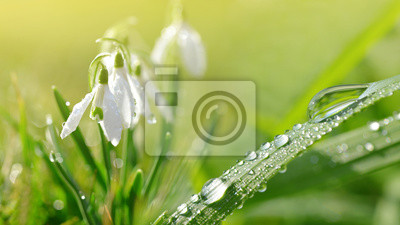 Wall mural Dew drop on green grass and snowdrop flowers on meadow. Spring season.