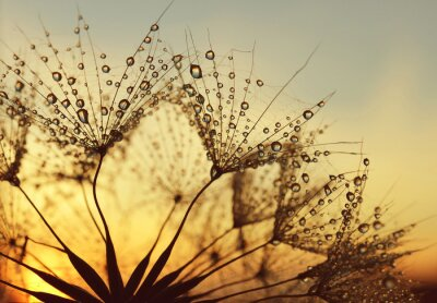 Wall mural Dew drops on a dandelion seeds at sunrise close up.