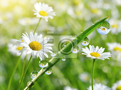 Wall mural Dew drops on fresh green grass with daisies closeup. Spring season.