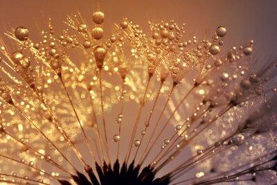 Dewy dandelion at sunrise close up