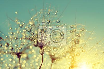 Dewy dandelion flower at sunrise close up