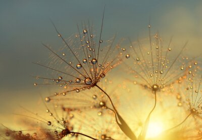 Wall mural Dewy dandelion flower at sunrise close up. Natural backgrounds.