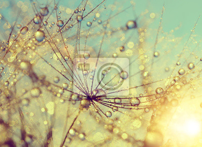 Wall mural Dewy dandelion flower at sunset close up