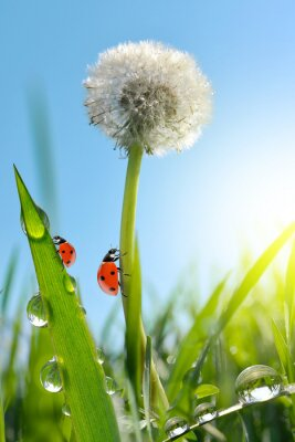 Dewy dandelion flower with ladybugs in grass. Nature background.