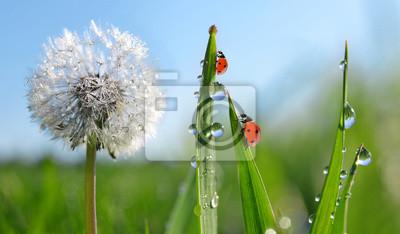 Dewy dandelion flower with ladybugs in grass. Spring season.