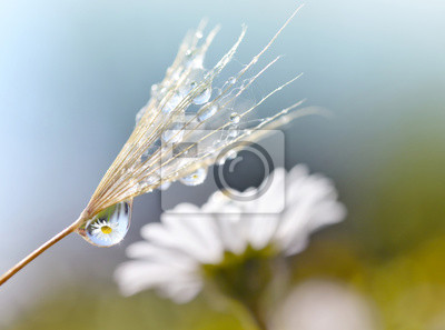 Dewy dandelion seed closeup. Daisy flower reflection in dew drops. Spring nature background.