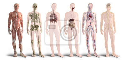 Wall mural Digital 3d render of human body organs
