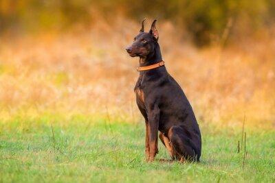 Doberman dog sitting in autumn park