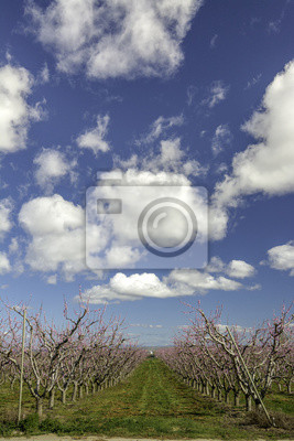 Wall mural Dramatic clouds of a blooming peach orchard
