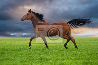 Wall mural Dressage horse trotting on a grass against sunset sky