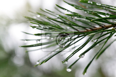 Drops of rain on the needles of the pine branch close up. Spring nature background.