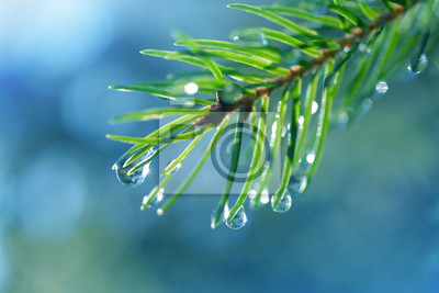 Drops of rain on the needles of the spruce branch close up. Spring nature background.