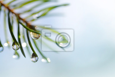 Wall mural Drops of rain on the needles of the spruce branch close up. Spring nature background.