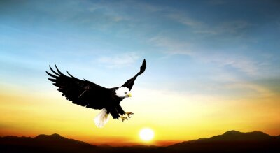 Wall mural eagle flying in the sky beautiful sunset