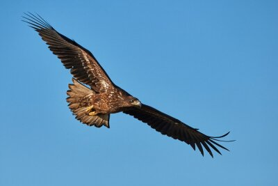 Wall mural Eagle in flight