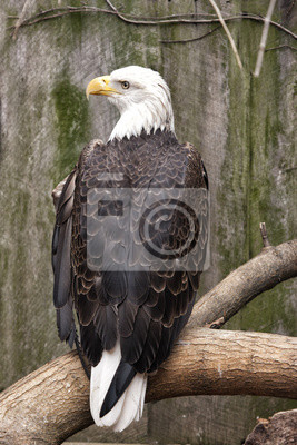 Eagle Perched Back View with Face Looking Right