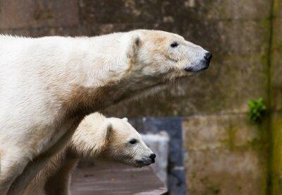 Wall mural Eisbären schauen