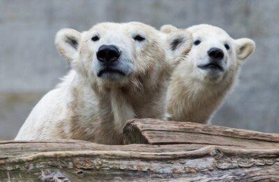 Wall mural Eisbärenfamilie