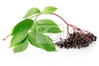 Wall mural Elderberry branch isolated on white, clipping path included