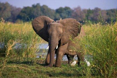 Wall mural Elephant standing on the grass near river Zambezi. Zambia. Lower Zambezi National Park. Zambezi River. An excellent illustration.