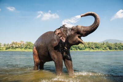 Wall mural Elephant washing in the river