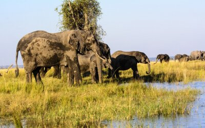 Wall mural Elephants drinking from the Chobe river