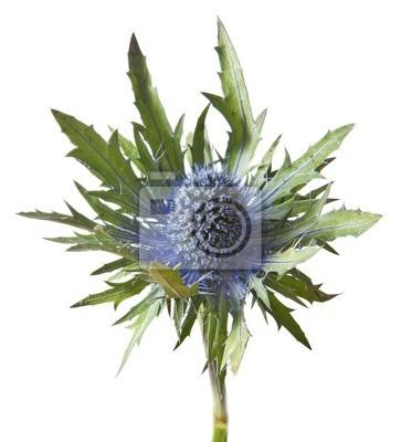 Eryngium alpinum thistle plant