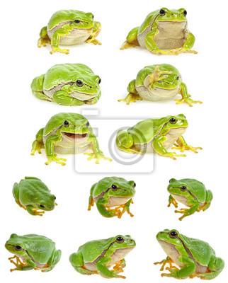 Wall mural European tree frog - Hyla arborea isolated - collection