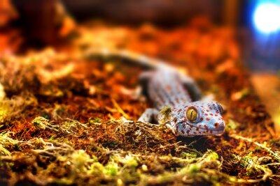 Wall mural exotic animal tokay gecko lizard