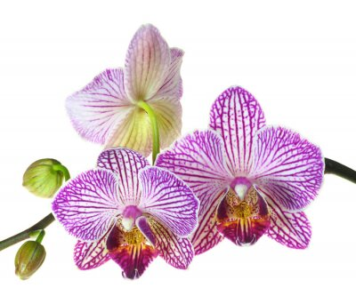Wall mural Extreme Depth of Field Photo of a Three Orchid Blooms