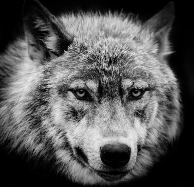 Wall mural Eyes of the wolf, A black and white head shot of a wolf.