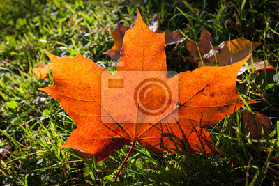 Fallen bright red maple leaf on grass