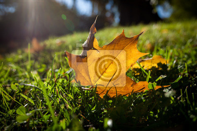 Fallen bright yellow maple leaf on grass