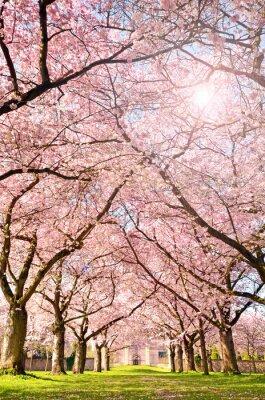 Wall mural Farbe des Frühlings: Garten mit Japanischen Kirschblüten :)