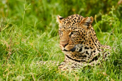 Wall mural Female leopard portrait
