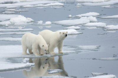 Wall mural Female Polar Bear with Yearling Cub