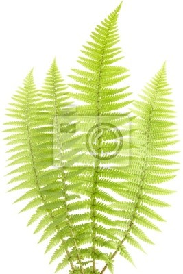 Wall mural fern leaf isolated on white