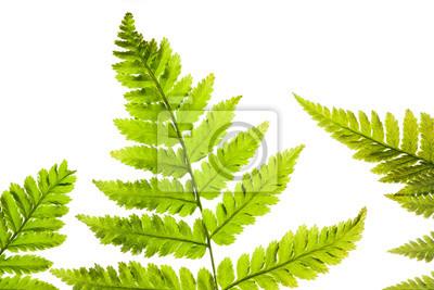 fern on a white background