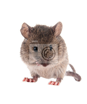 Wall mural Field Mouse.Isolated on white background.