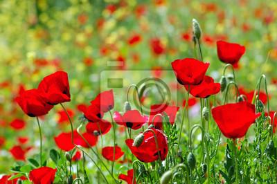 Field of blooming poppy flowers. Spring season background.
