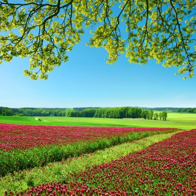 Field of flowering crimson clovers (Trifolium incarnatum) in sunny day. Spring landscape.