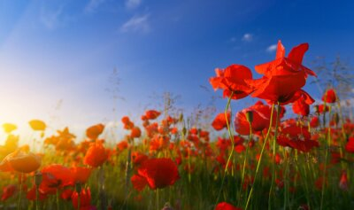 Wall mural Field of poppies at sunrise