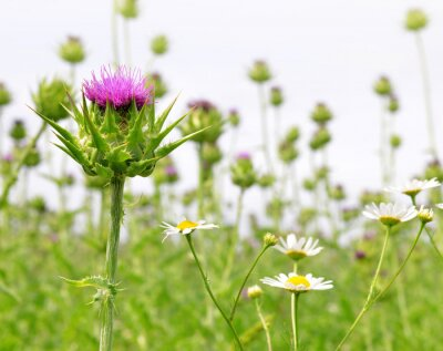 Wall mural Field with Silybum marianum (Milk Thistle) , Medical plants.