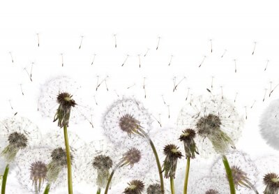 Wall mural field with white dandelions
